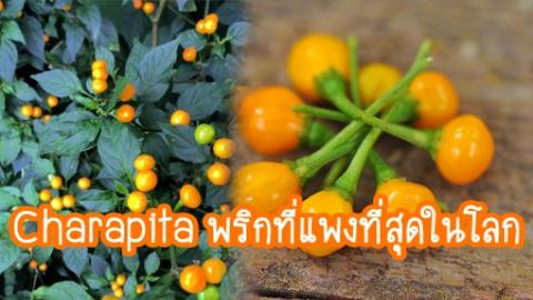มารู้จัก Charapita พริกที่แพงที่สุดในโลก 1  กิโลกรัม เกือบ 1 ล้าน