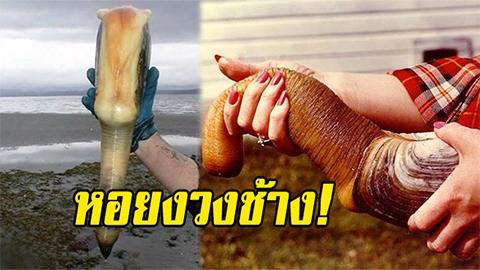 หอยงวงช้าง!! สิ่งชีวิต18+ กิโลเป็นหมื่น ฝรั่งไม่ค่อยกินแต่จีนนิยม