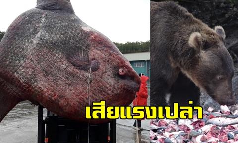 ตะลึงชาวประมงรัสเซีย ใช้เวลากว่า 3 วันในการจับ ''ปลาแสงอาทิตย์'' ปลาหายากแต่สุดท้ายต้องปล่อยให้หมีกิน !!!!