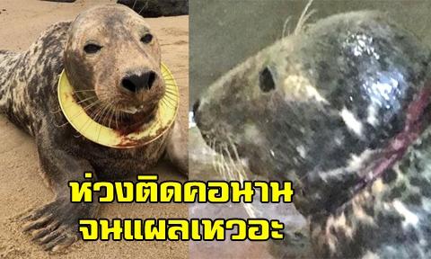 น่าสงสาร แมวน้ำเคราะห์ร้ายหลัง ''จานร่อน'' ติดคอนาน 6 เดือน ล่าสุดช่วยได้แต่คอแผลเหวะ-เน่า !!