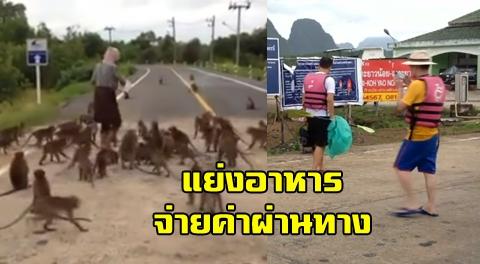 วอนเจ้าหน้าที่ช่วยดูแล หลังฝูงลิงแสมกว่า 100 ตัว บุกยึดถนนท่าเรือกระบี่ แย่งอาหารนักท่องเท