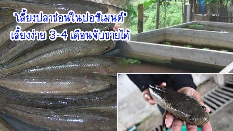 ทางเลือกใหม่!! ''เลี้ยงปลาช่อนในบ่อซีเมนต์'' เลี้ยงง่าย 3-4 เดือนจับขายได้
