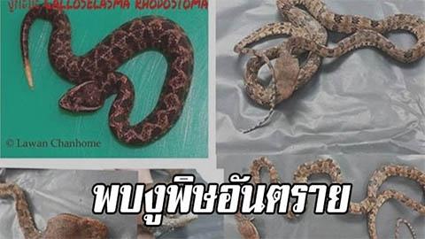 พบงูพิษอันตราย Brown spotted pit viper ตัวแรกในไทยหลังเจอชาวบ้าน จ.น่านตีตายตอนหาของป่า