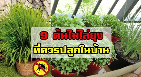 ไปหามาปลูก !!! 9 ต้นไม้ช่วยไล่ยุง-แมลง ปลูกง่ายได้ทั้งในบ้านและนอกบ้าน !!!
