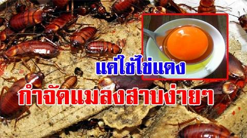 ลองเลย! กำจัดแมลงสาบง่ายๆแค่ใช้ไข่แดง ได้ผลชัวร์