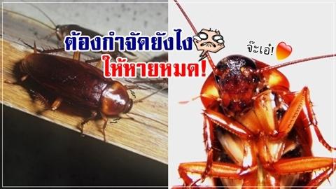 วิจัยเผย!! แมลงสาบไม่มีวันตาย ฆ่ายังไงก็ไม่หมดเพราะแบบนี้!!
