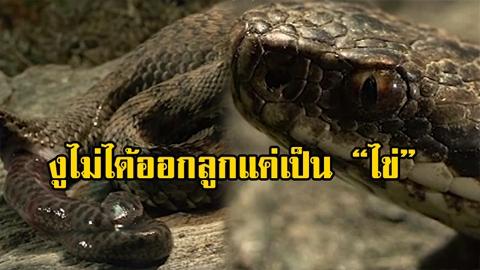เชื่อว่าหลายคนไม่รู้! งูสัตว์ผู้น่ารัก ไม่ได้ออกลูกแค่เป็นไข่ แต่สามารถออกลูกได้ถึง 3 วิธี!!