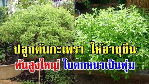เคล็ด(ไม่)ลับ!! วิธีปลูก ''ต้นกะเพรา'' ให้อายุยืน ต้นสูงใหญ่ ใบดกหนาเป็นพุ่ม!!