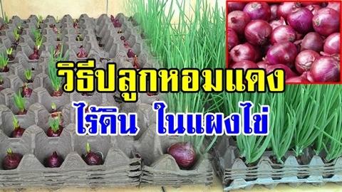 พื้นที่น้อยไม่ใช่ปัญหา!! วิธีปลูกหอมแดงไร้ดินในแผงไข่ เก็บกินง่าย ประหยัดได้เยอะ!!