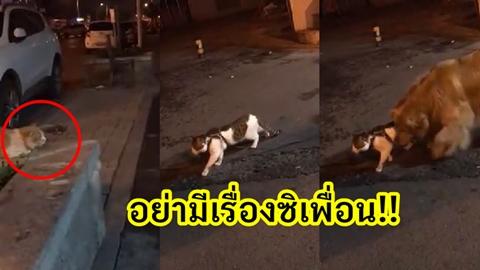 อย่ามีเรื่องซิเพื่อน!! เจ้าแมวโชว์กร่าง เดินเข้าหาเรื่องเพื่อน สุดท้ายโดนโกลเด้นหิ้วกลับบ้าน