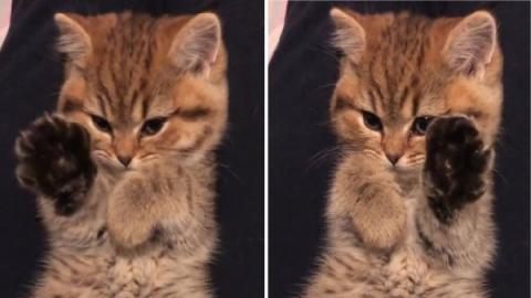 เจ้าของอยากเก็บภาพแมวน้อยขี้อายไว้ดูเล่น แต่ถูกยกอุ้งเท้ามาแบบน่ารักๆใส่กล้องเข้าเต็มๆ