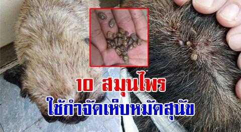 อย่าปล่อยให้สุนัขมีเห็บหมัด !! 10 วิธีใช้สมุนไพรพื้นบ้าน กำจัดเห็บหมัดให้หายขาดได้ !!!