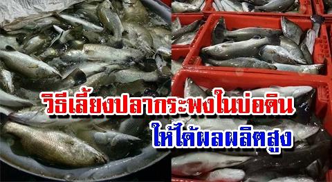 อาชีพทำเงิน !! เทคนิคเลี้ยงปลากะพงในบ่อดินให้เลี้ยงง่าย โตเร็ว เนื้อปลารสชาติดี !!!