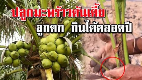 เทคนิคสุดเจ๋ง!! ปลูกมะพร้าวต้นเตี้ย ได้ผลผลิตดี! ลูกดก!