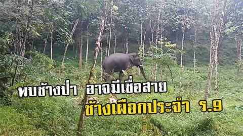 ข่าวดี!! พบช้างป่านครศรีฯ ลักษณะเข้าข่ายช้างมงคล อาจมีเชื้อสาย ''คุณพระเศวต''