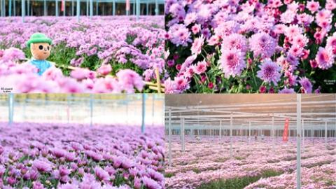 เบญจมาศบานสะพรั่งสวยตระการตา ''สวนดอกไม้ปทุมเจดีย์'' จ.ปทุมธานี