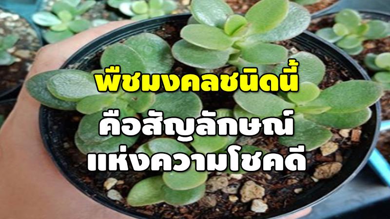 พืชมงคลชนิดนี้ คือสัญลักษณ์ แห่งความโชคดี